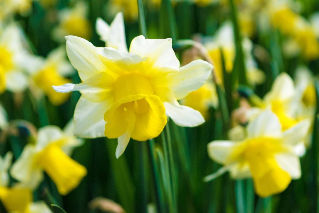 Daffodils in Keukenhof