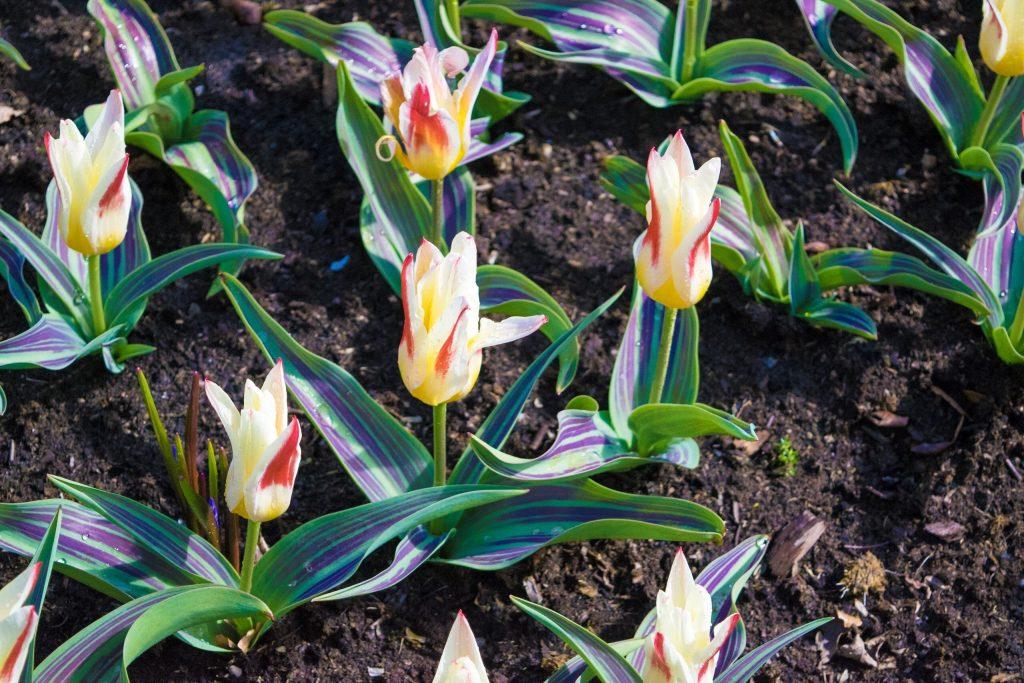 Johann Strauss Kaufmanniana Tulip