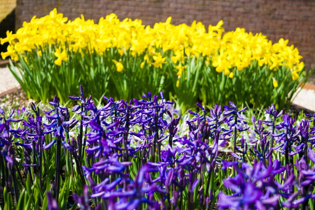 Daffodils and Wild-type Hyacinthus