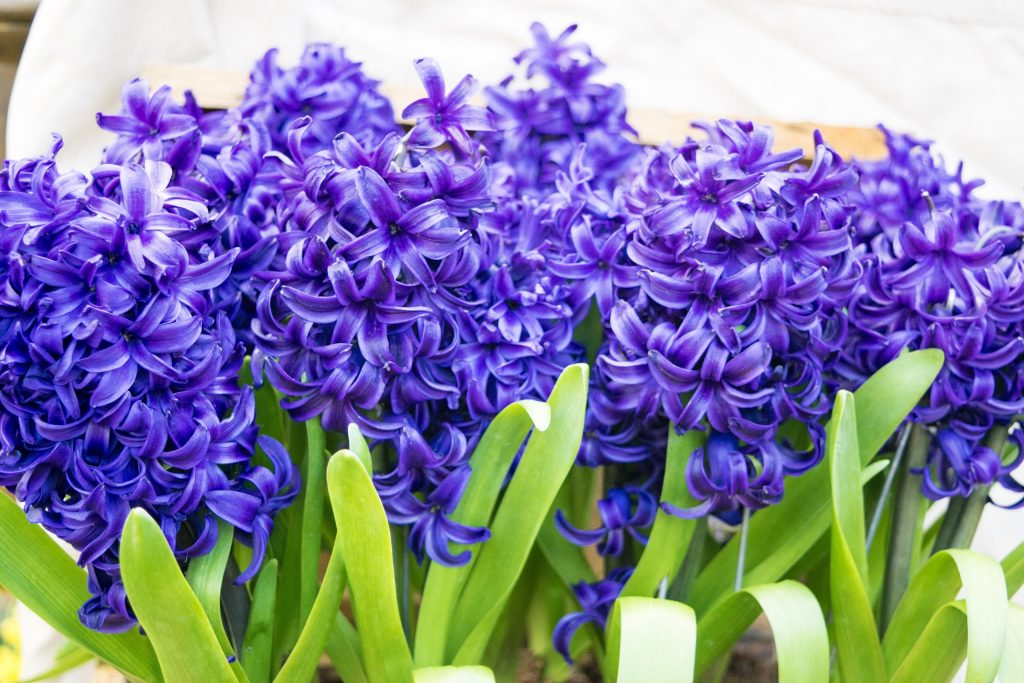 Hyacinthus - A fragrant flowering plant