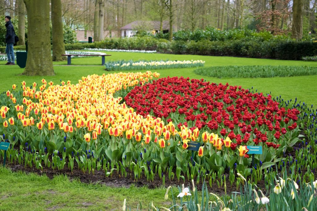 Washington Triumph Tulip (Yellow) and Oriental Beauty Kaufmanniana Tulip (Red)