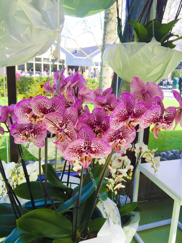 orchids flower keukenhof gardens