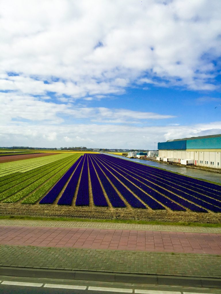 Tulips field in holland