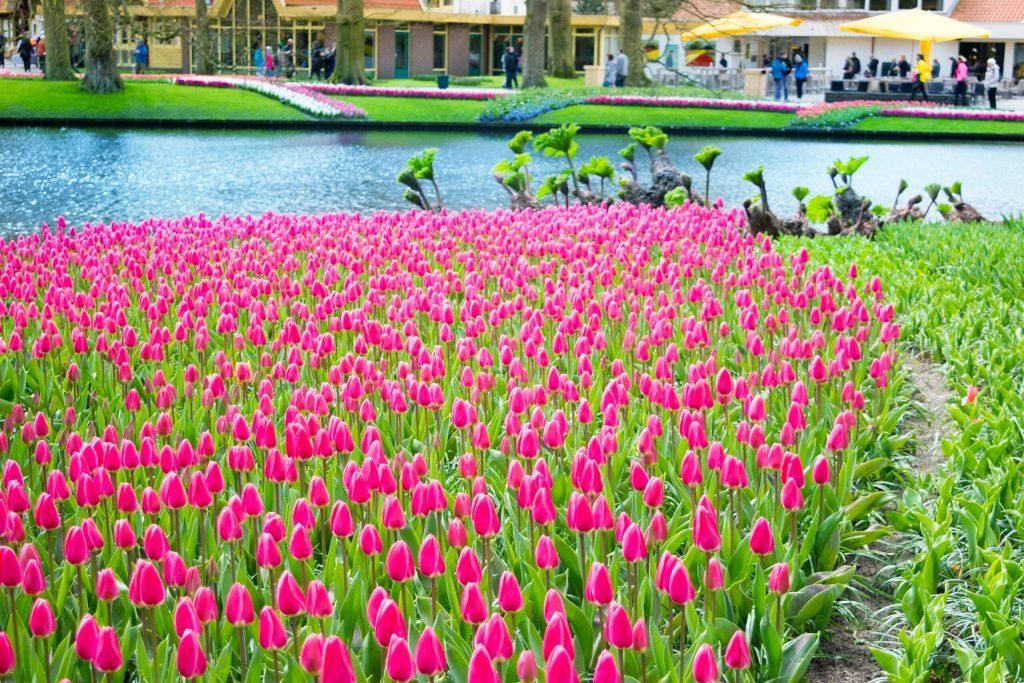 Toronto Bunch Flowering Tulip
