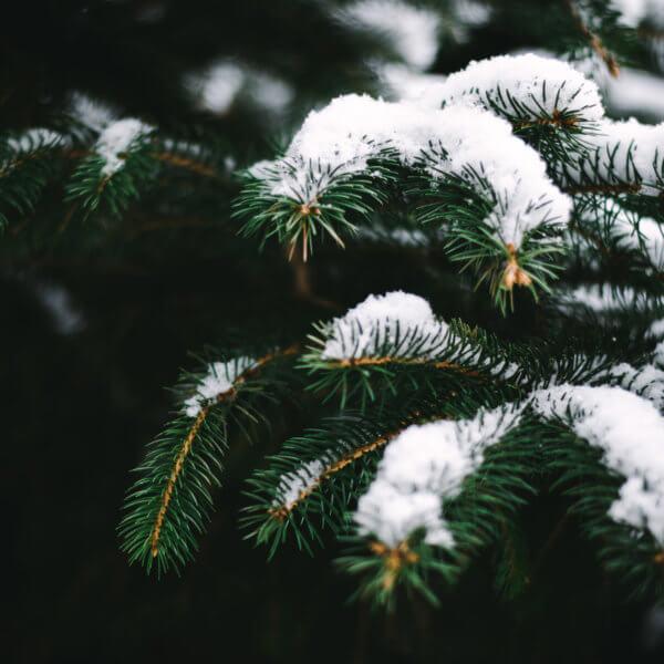 Winter Love, Pine Trees, Snow