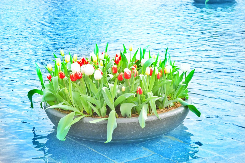 White , yellow, red TULIPS - Where's the clog?