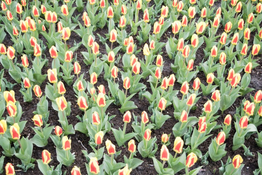 tulips garden in amsterdam holland