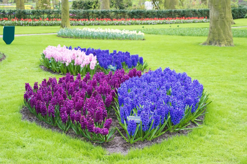 Violet hues of tulips