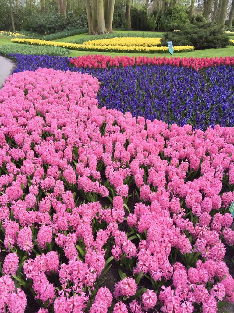 Bed of hyacinth tulips