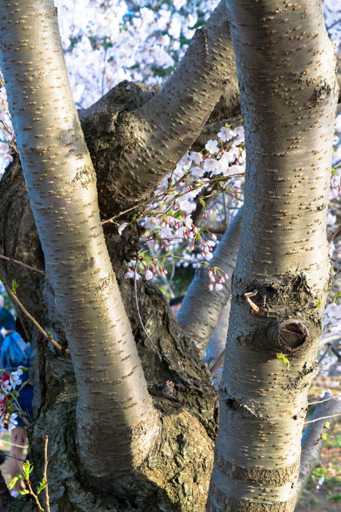 Pretty trunk and cherry blossoms; Toronto