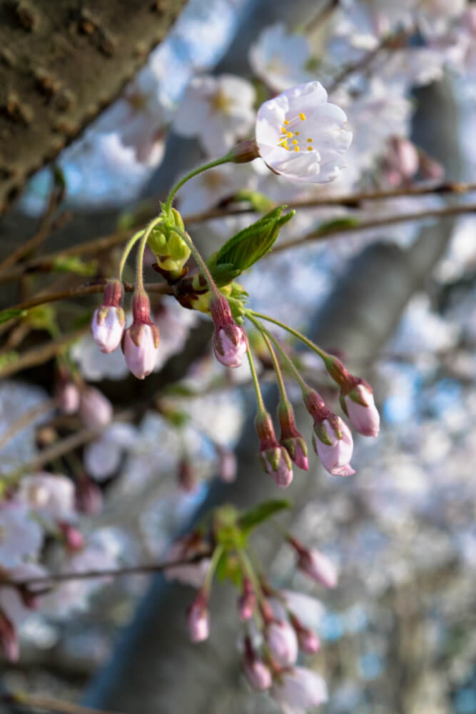 Cherry Blossoms Buds