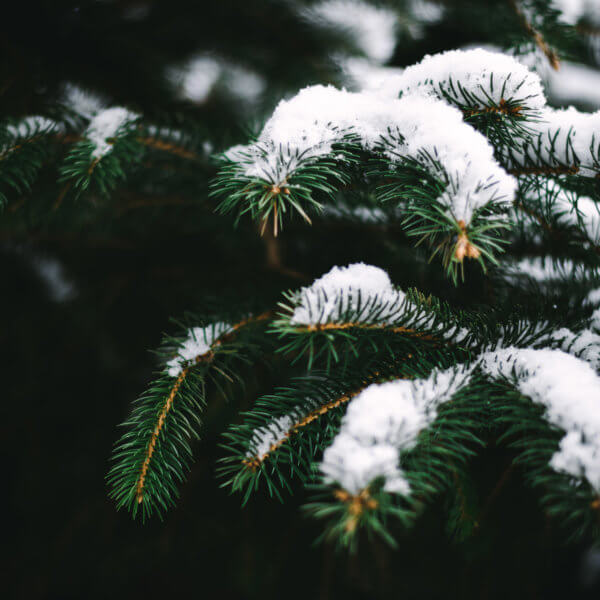 Winter Love, Pine Trees, Snow