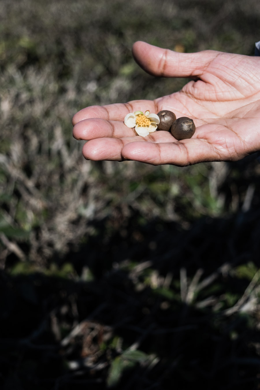 Tea seeds and flowers